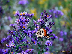 MONARCH BUTTERFLY ON NEW ENGLAND ASTOR (Picsnapper1212) Tags: monarch butterfly insect animal newenglandaster aster flower wildflower plant nature orange purple gulleypark warrencounty ohio 2008