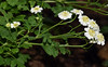 oddball cultivar, feverfew (ophis) Tags: asterales asteraceae asteroideae anthemideae tanacetum tanacetumparthenium feverfew pinnatisect