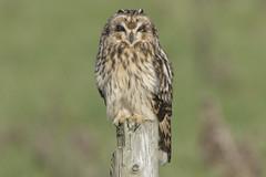 Short Eared Owl (Ade Ludlam) Tags: short eared owl bird prey raptor wildlife somerset nikon d7200 sigma sigma150600