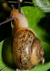 Lesma (Antonio Marin Jr) Tags: lesma macrofotografia macrosfotos fotosmacros antoniomarinjr animais nature
