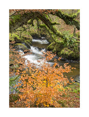 Aira Beck, Glowing Beech. (Geoff Kell (Old Forest Man)) Tags: autumn water woodland trees lakedistrict
