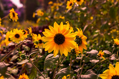 Sunflower-garden-views.jpg (yobelprize) Tags: autumn sunny natural foliage nature yobelmuchang beauty background orange summer flora sky yellow petals landscape color season closeup floral plant spring outdoor rural beautyinnature pretty blooming garden sun sunflowers colorful warm beautiful bright blossom flower meadow green bloom yobel fresh field