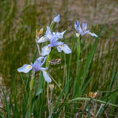 Mountain Iris and a Butterfly (San Francisco Gal) Tags: irismissouriensis wildflower iris mountainiris beavermeadows rockymountainnationalpark rmnp flower fleur bloom blossom bud seedpod butterfly