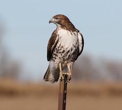 His Turf (Bill G Moore) Tags: naturephotography birdofprey redtailhawk billmoore wild wildlife canon colorado raptor