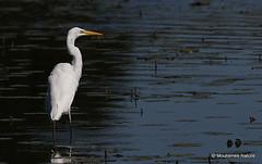 0S8A9372X. Great Egret (Egretta alba) (Nick Ransdale (http://www.nick-ransdale.com/)) Tags: egrettaalba greategret