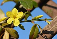 On a Bright November Morning (Eleanor (No multiple invites please)) Tags: coth coth5 flower yellowflower buds leaves trellis bluesky winterfloeringjasmine garden stanmore uk nikond7100 november2018