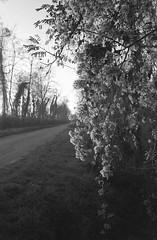 verso casa ;/) (schyter) Tags: kiev5 sovietcamera jupiter 12 pellicola film argentica type д 125 adonal 137 epson v600 rangefinder telemetro foresta albero erba