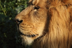 Asiatic Lion (charliejb) Tags: mammal 2019 bristolzoo bristolzoogardens bzg clifton bristol animal wildlife zoo carnivore bigcat feline fur furred furry lion asiaticlion asiatic mane male