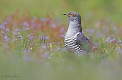 Common Cuckoo (Nigel Hodson) Tags: canon 600mmf4ii 5dmkiv cuckoo commoncuckoo nature naturephotography wildlife wildlifephotography birds birdphotography bird