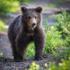 Cute and Innocent (GunnarImages (Gunnar Haug)) Tags: sun brownbear wildlife love cute finland nordic green brown forest landscape mammal
