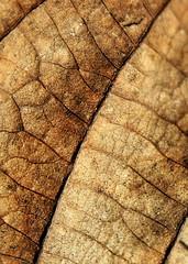 Autumn leaf texture / EXPLORE!! (Ibolya Mester) Tags: