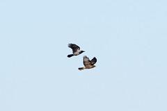 Common Buzzard at Skeie S24A0475 (grebberg) Tags: skeie klepp rogaland norway 2018 november bird commonbuzzard buteobuteo buzzard raptor burdofprey buteo