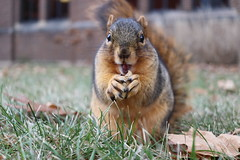 Fox Squirrels in Ann Arbor on a late Autumn day at the University of Michigan - December 12th, 2018 (cseeman) Tags: gobluesquirrels squirrels foxsquirrels easternfoxsquirrels michiganfoxsquirrels universityofmichiganfoxsquirrels annarbor michigan animal campus universityofmichigan umsquirrels12122018 fall autumn eating peanuts acorns decemberumsquirrel climber squirrelclimber cavitynest