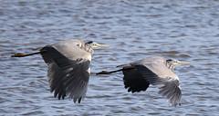 Blue Heron (roland_tempels) Tags: supershot heron birds kallo belgium nature water