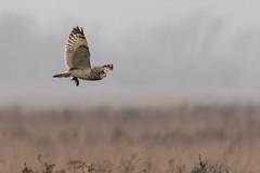 Short-eared Owl in flight with Vole (John A Harvey) Tags: birds burwellfen cambridgeshire england uk