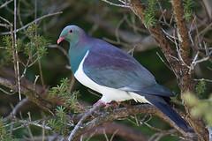New Zealand pigeon (Andrej Chudy) Tags: bird birding birdwatching canon wild wildlife animal nature outdoor fullframe trip canon600mmf4isusm canon5dmarkiv newzealand kereru endemic garden