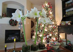 Holiday Florals (Patricia Henschen) Tags: costco amaryllis flower flowers bulbs christmas holidays decor coloradosprings colorado floral live fresh