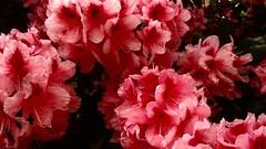 pink petals in the Alphabet (thompshow) Tags: azaleas springtime hotpink alphabetdistrict mapplethorpe floralerotica innocence