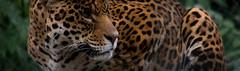 Jaguar (nathalie beauchamp) Tags: zooparcdebeauval zoo zooparc beauval jaguar tache tâches félins moustaches yeux pelage jungle animal animaux nikon