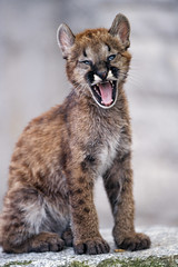 Puma cub yawning, last one (Tambako the Jaguar) Tags: puma cougar mountainlion big wild cat young baby cub yawining openmouth tired sitting posing cute portrait adorable rock stone wall plättli zoo frauenfeld switzerland nikon d5