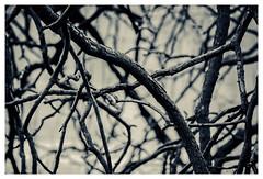 Light and dark 3 (cstevens2) Tags: antwerp antwerpen antwerpenprov anvers belgique belgium belgië deurne europe flanders flandre park rivierenhof tree vlaanderen boom branch detail parc tak