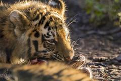 ZSL Whipsnade: Amur Tiger and Cubs (Jasmine'sCamera) Tags: zsl zslwhipsnade whipsnade zoo animal amurtiger tiger amur cub feeding feedingtime cat bigcat