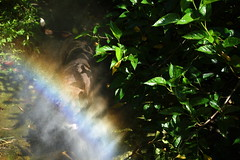Kahn in a rainbow shower (busyBlueMtsGranny) Tags: ddogchal boxer dog misty water hose rainbow