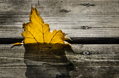 Caught (Neil Cornwall) Tags: house november closeup 2018 windsor fall home leaves colour yellow nature landscape wood canada ontario nikond7000 nikon deck backyard