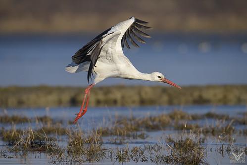 Ciconia ciconia, cicogna bianca, Cigogne blanche, white stork