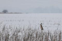 Houston, we have a problem (gabormatesz) Tags: wildlife winter wintermadness canon 70200mm rabbit animal animals hare nature naturephotography snow snowfield