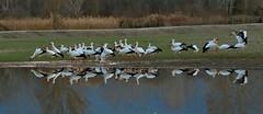 CIGONYES A L'ESTANY DE BANYOLES (Rafel.O.T.) Tags: birds stork cigüeñas aves aus cigonyes