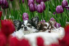 Lovely dogs and Tulips (shinichiro*) Tags: 20190112dsc6192 2019 crazyshin nikon1v3 v3 1nikkorvr70300mmf4556 january winter dogs flower tulips enoshima kanagawa japan jp 江ノ島 46988506931 candidate