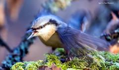 """ Alarma !"" 📢👂📣 (Igor ""Ixa"" Nael) Tags: puukoristaja lind bird sittaeuropaea nuthatch wild nature macrofoto makro sammal"