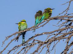 Freezing Feather Balls (jaffles) Tags: southafrica südafrika kgalagaditransfrontier ktp olympus safari wildlife natur nature beautiful