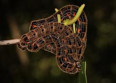 Endromid Moth Caterpillars (Andraca sp., Endromidae) (John Horstman (itchydogimages, SINOBUG)) Tags: insect macro china yunnan itchydogimages sinobug entomology canon moth lepidoptera caterpillar larva 2 endromidae