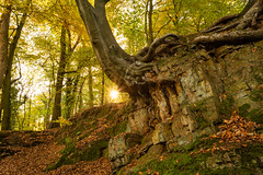The Squid Tree? (Rob Pitt) Tags: hawarden estate forrest woods autumn morning tree unusual sony a7rii 1740 f4 l north wales cymru sunburst sun