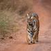 Female tiger, Tadoba National Park, India