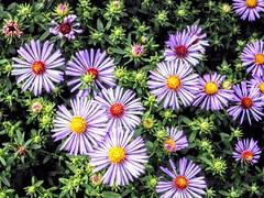 Field of Flowers (pmorris73) Tags: arboretum pennstateuniversity statecollege pennsylvania century 2cee 3cee 4cee 5cee 6cee 7cl2918 8cl2918 9ca2418 1kc0919