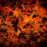 Japanese Maple Sunset thumbnail