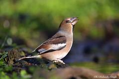 Frosone _001 (Rolando CRINITI) Tags: frosone uccelli uccello birds ornitologia avifauna castellettomerli natura