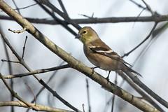American goldfinch (jim_mcculloch) Tags: 5541 birds