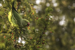 Beginning to look a lot like christmas... (- A N D R E W -) Tags: christmas winter invierno parakeet canon 80d tamron 150600mm nature wildlife tree yew bokeh light luz sun color colorful golden bird festive branches berries sky clouds green red beak wings