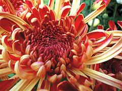 Royal Blood  ... in 'Explore' 2/12/2018 (Mary Faith.) Tags: chrysanthemum flower macro red orange bicolour curves curls 293