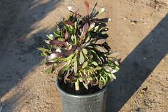 Aeonium arboreum 'Atropurpureum' 5g -bg