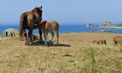 Argenton - Landunvez - Bretagne (JM_GOS.) Tags: bzh bretagne brittany argenton landunvez cheval chevaux mer