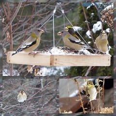 Winter visitors (yooperann) Tags: birds winter plumage marquette upper peninsula michigan snow