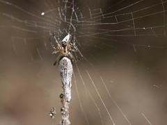 Cyclosa ginnaga (rainerbreitling) Tags: araneae araneidae cyclosa cyclosaginnaga spider japan okinawa 沖縄諸島 spinne spin araignée araña örümcek αράχνη クモ ryukyuislands nanseiislands