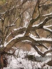 (Tölgyesi Kata) Tags: january withcanonpowershota620 botanicalgarden vácrátót botanikuskert vácrátótibotanikuskert nemzetibotanikuskert winter tél snow tree