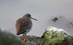 Common Redshank / tureluur (douwesvincent) Tags: sea wadden water winter birding photo outdoor cold freezing surviving peer holwerd holland sunny wheather cool enjoying nature out world friesland rocks brown fauna birds birdwatching