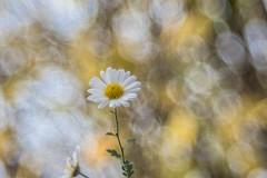 Chrysanthemum indicum (Torok_Bea) Tags: chrysanthemumindicum flower flowers natur nature trioplan meyeroptikgörlitz bokeh bokehflower mog nikon nikond7200 d7200 macro macroshot lovely november autumn autumnflower margitvirág krizantém